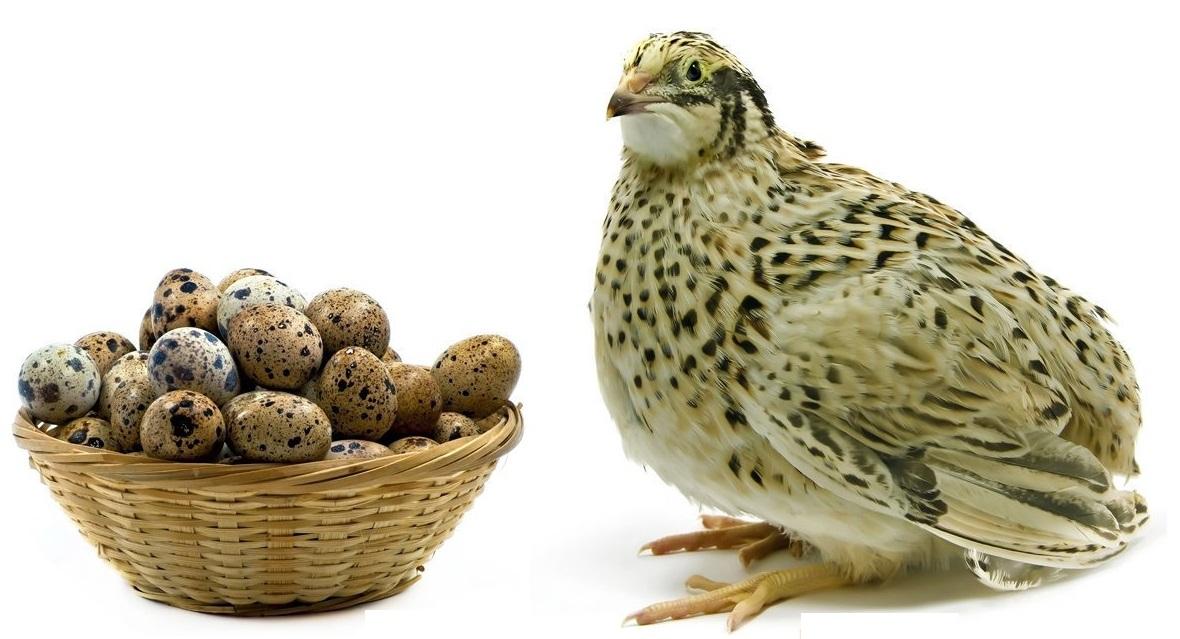 Battai eggs: benefits