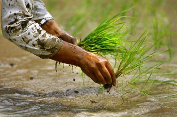 ब्याड राख्ने समयमा धानको बीउ अभाव– लुकिछिपी भारतबाट आयात गर्दै किसान